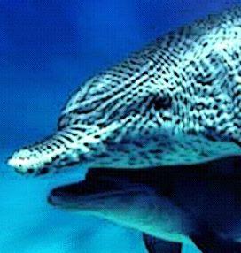 Flecken Delphin